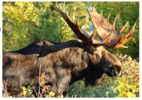 moose-permits